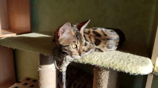 Sale of the best Bengal kittens Kharkiv